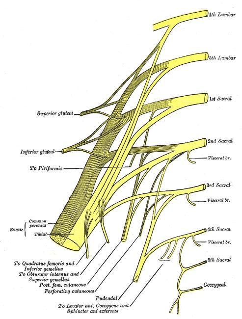 Perineal Anatomy Diagram Great Installation Of Wiring Diagram