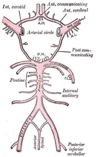 Labyrinthine Artery