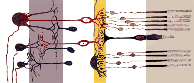 Rod cell - Cross section of the retina.  Rods are visible at far right.