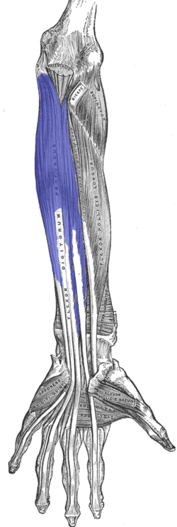 Flexor-digitorum-profundis.png