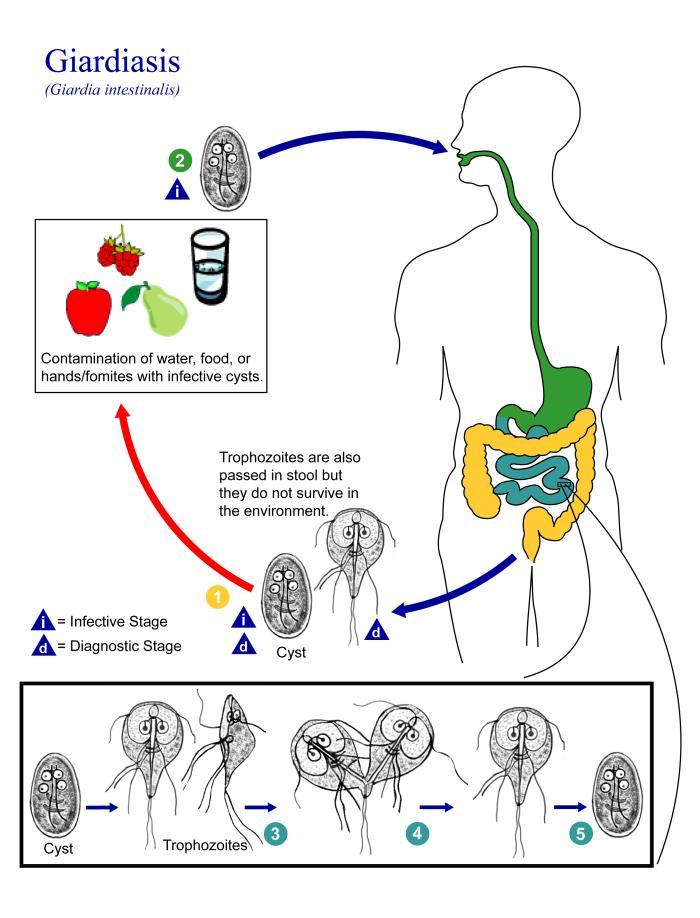 giardia duodenalis mensch pillangó zeugma relaxi