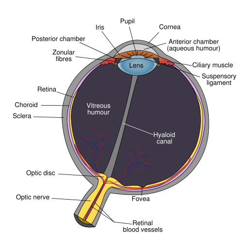 Schematic diagram of the human eye en svg.png