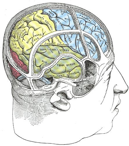 Occipital lobe - wikidoc