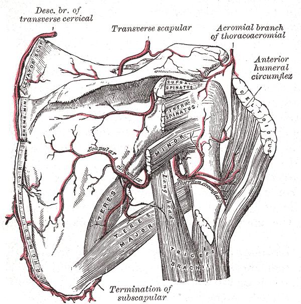 Dorsal Scapular Artery