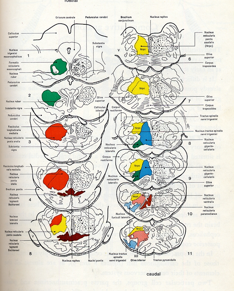 Reticular formation - wikidoc