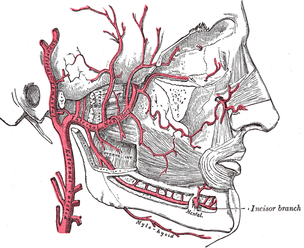 Plan of branches of internal maxillary artery Superficial Temporal Artery Angiogram