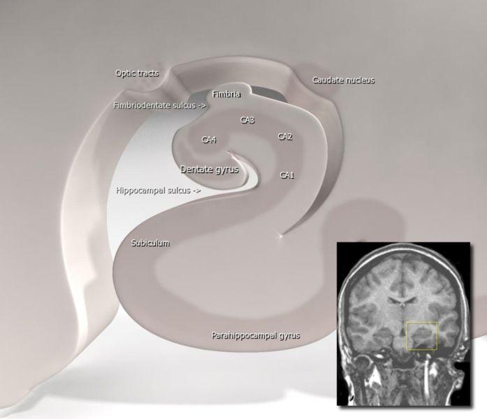 Hippocampus Anatomy My Radiology Files