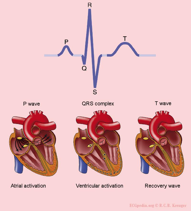 Female urethra anatomy in addition fine ventricular fibrillation