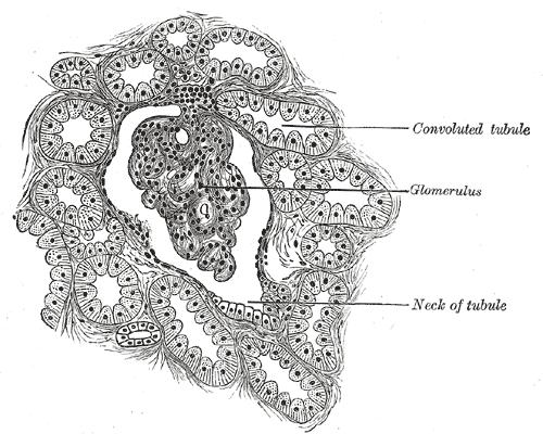 Proximal Tubule Histology
