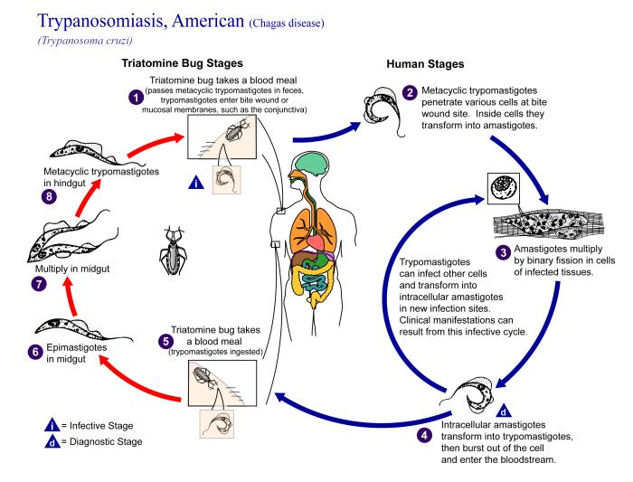 Chagas disease cycle.jpg