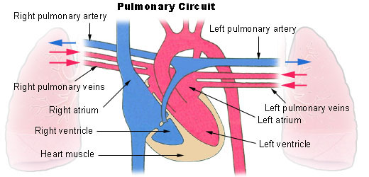 Illu pulmonary circuit.jpg