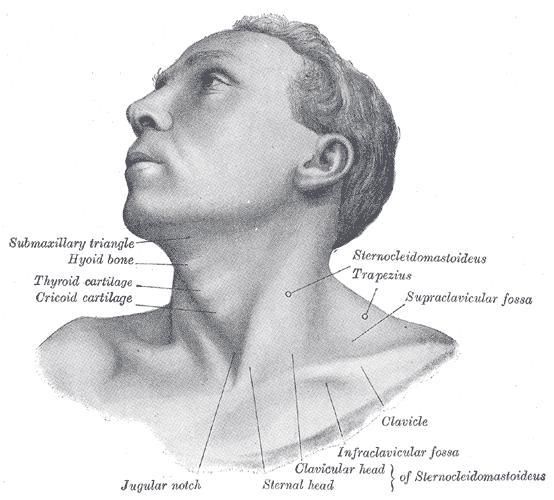 Anterolateral view of head and neck.