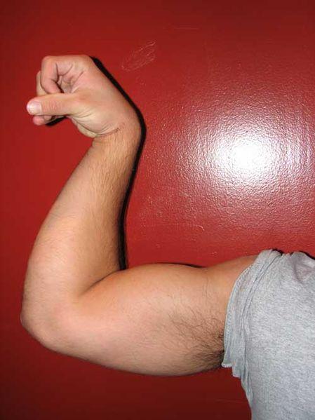 Biceps Brachii Muscle