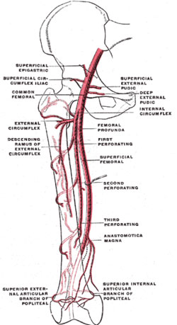 Femoral artery and branches.jpg