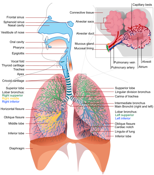Respiratory system complete svg.png