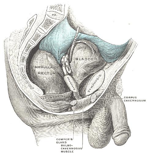 a pénisz corpus cavernosumának megnagyobbodása