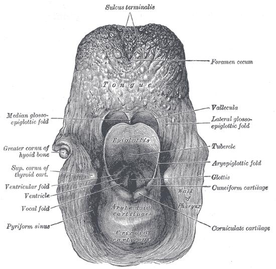 terminal sulcus (tongue)