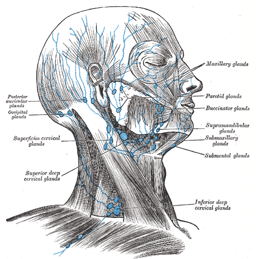 Lymph node anatomy neck