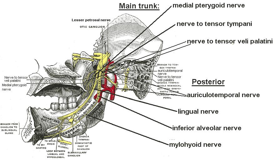 Mandibular Nerve Wikidoc