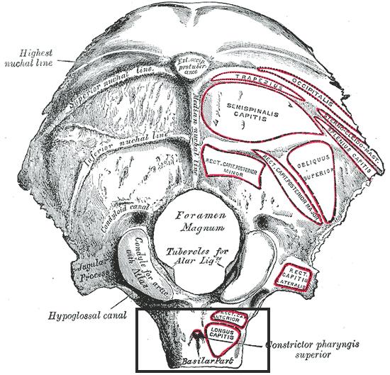 Jugular Notch Occipital Bone Basilar part of ...