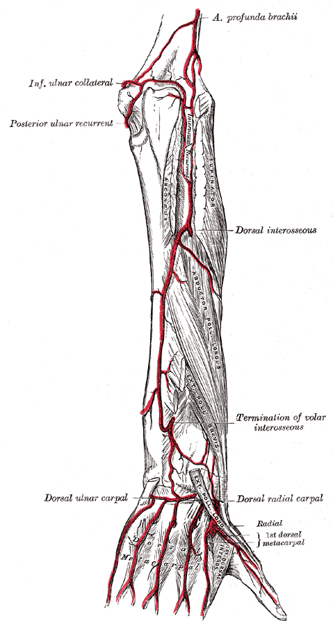 Common Interosseous Artery