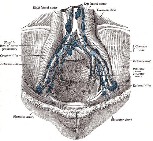 External Iliac Lymph Nodes