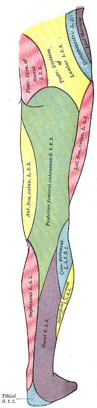 Posterior view.