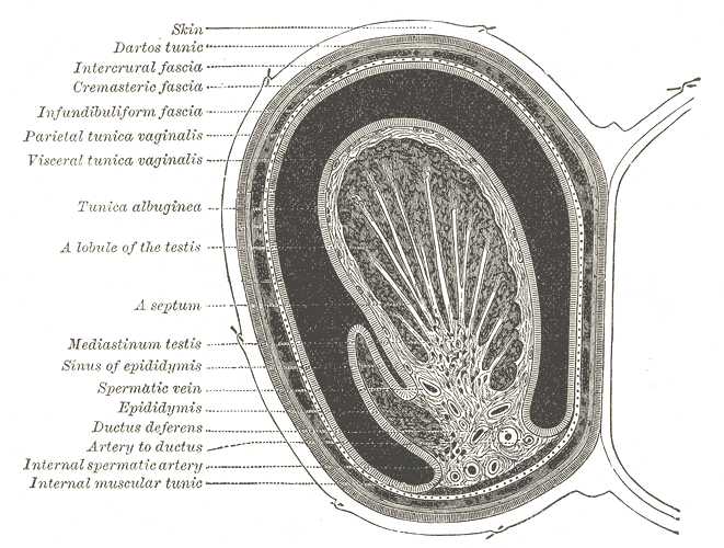testicular vein