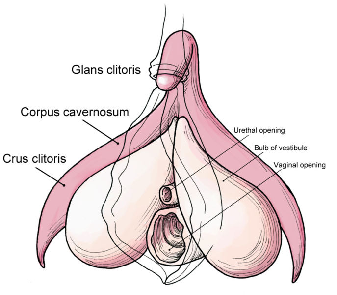Clitoris anatomy labeled-en.jpg