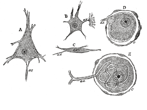 Ganglion cell - Various forms of nerve cells. A. Pyramidal cell. B. Small multipolar cell, in which the axon quickly divides into numerous branches. C. Small fusiform cell. D and E. Ganglion cells