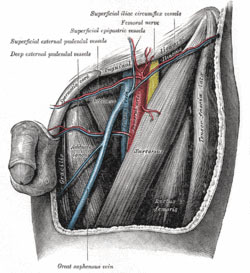 Femoral-triangle.jpg