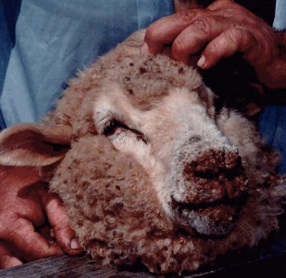 Orf (animal disease) - wikidoc