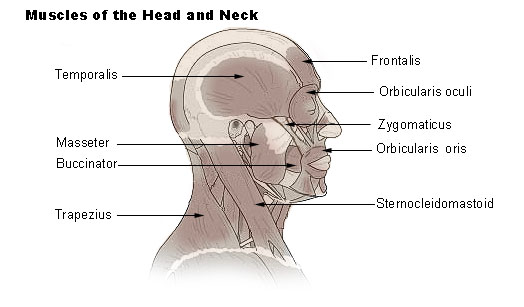 Muscles of The Head Neck And Shoulders Muscles of Head And Neck