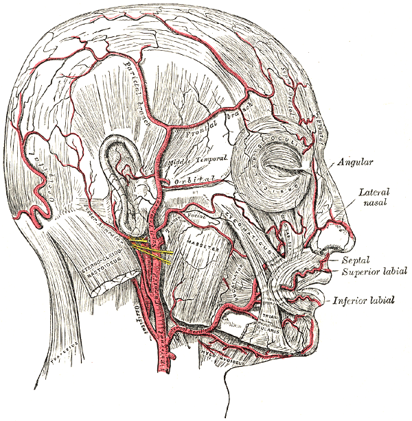 The arteries of the face and scalp Superficial Temporal Artery Angiogram