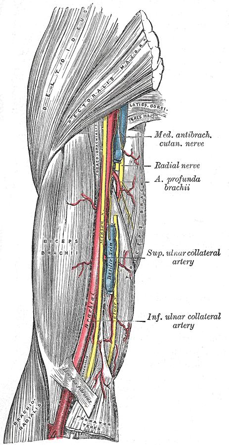Bicipital Aponeurosis