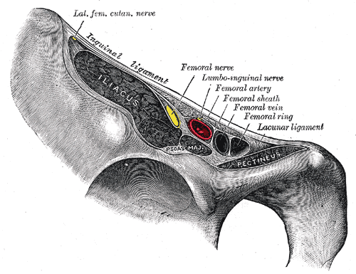 lacunar ligament - photo #7