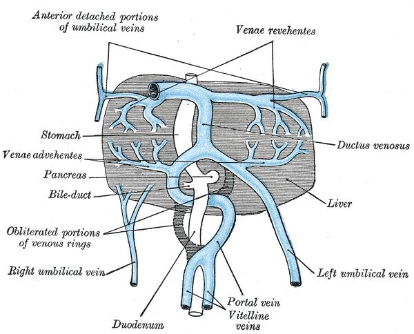 fetal ductus venosus - photo #19