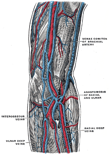 The deep veins of the upper extremity.