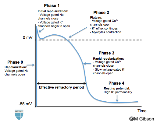 Ventricular Action Potential Wikidoc