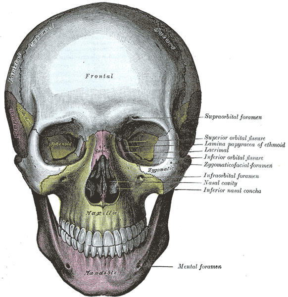 sphenoid bone - wikidoc, Human Body