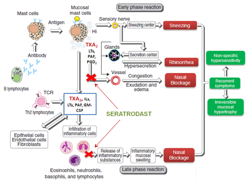 Mechanism of Action of Seratrodast in Allergic Rhinitis