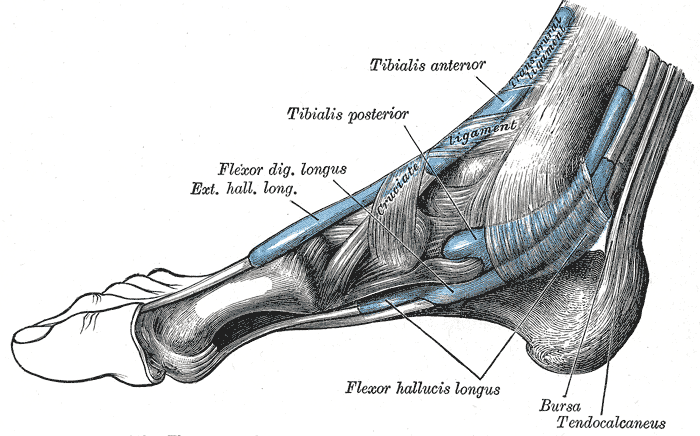 ptt muscle