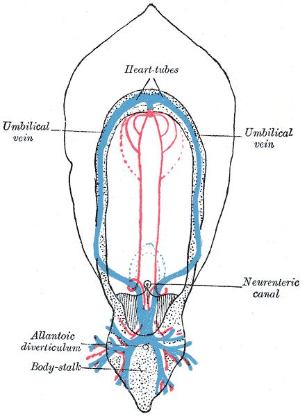 Umbilical Vein