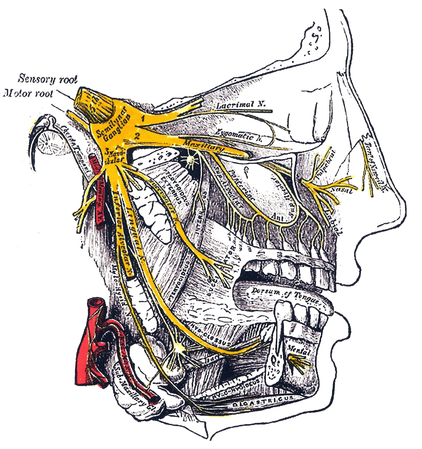 Trigeminal Nerve Wikidoc