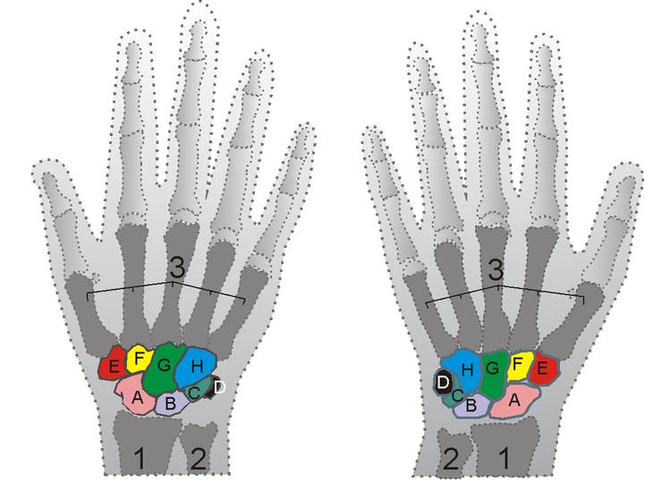 Musculoskeletal Problems Of The Wrist And Hand Anatomy Wikidoc
