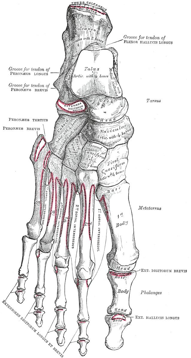 Tarsus  Skeleton