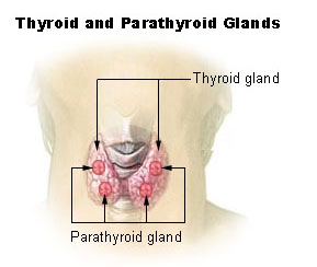 Illu thyroid parathyroid.jpg