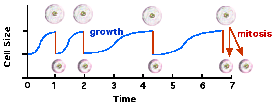Cell cycle and growth