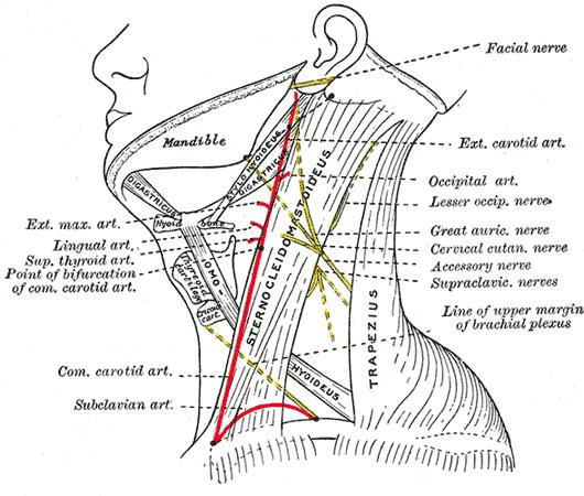 external carotid artery
