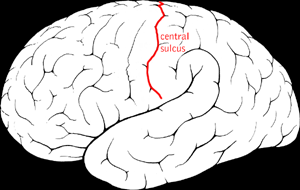Central sulcus.png